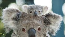 Billabong Koala and Wildlife Park - Accommodation Noosa
