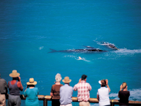Whale Watching At Head Of Bight - Accommodation Noosa