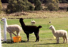 Maydena Country Cabins Accommodation  Alpaca Stud - Accommodation Noosa