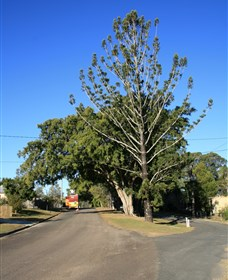 Anzac Avenue Memorial Trees Beerburrum