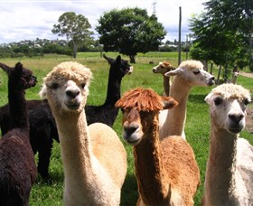 Banyandah Alpacas - Accommodation Noosa