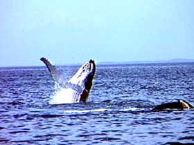 Whale Watching - Accommodation Noosa