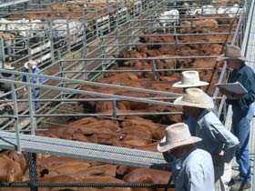 Dalrymple Sales Yards - Cattle Sales - Accommodation Noosa