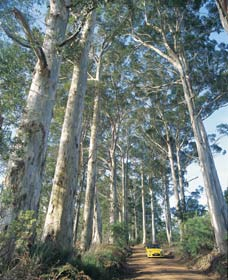 The Great Forest Trees Drive - Accommodation Noosa