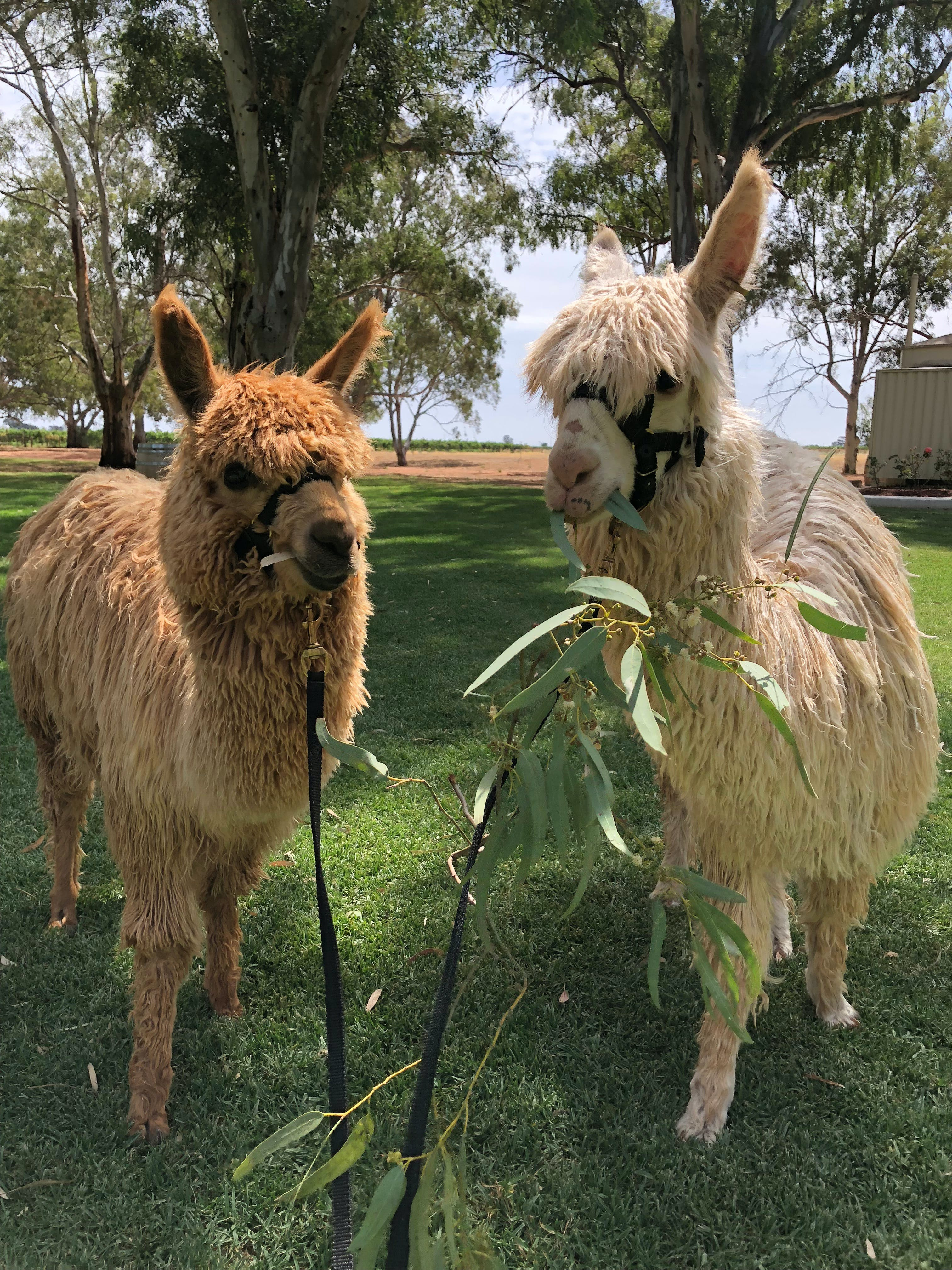 Visit an alpaca farm and get up and personal with these gentle and unique animals - Accommodation Noosa