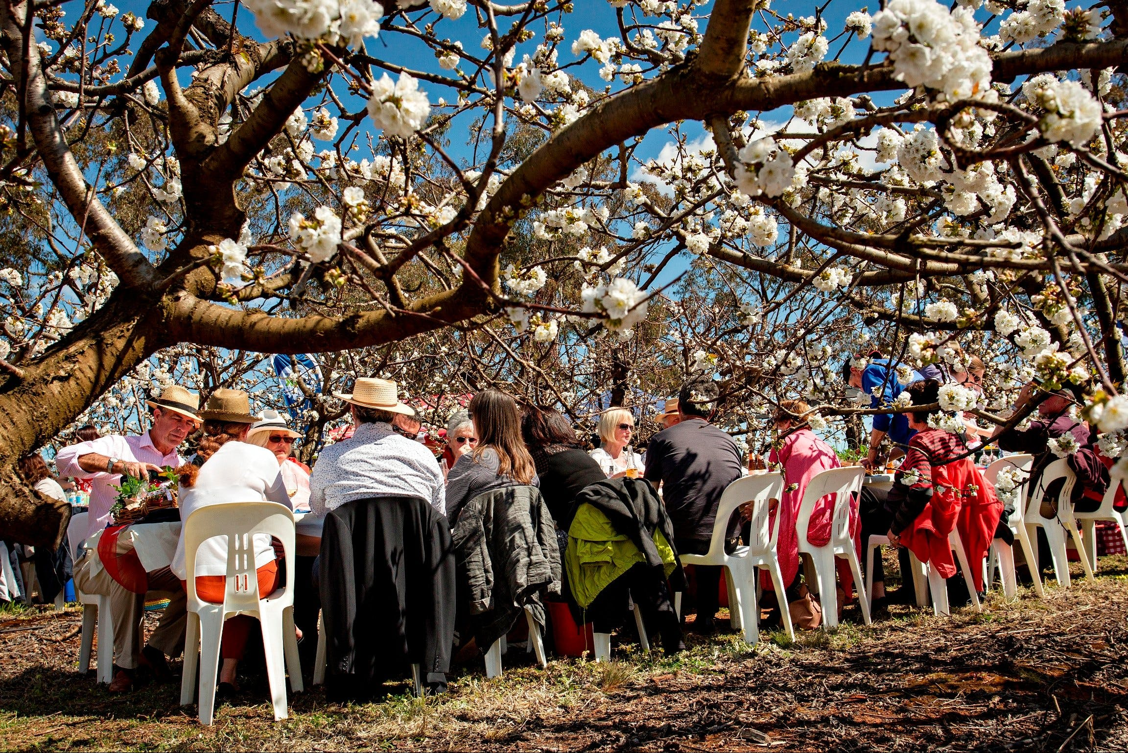 Young Cherry Blossom Long Lazy Lunch - Accommodation Noosa